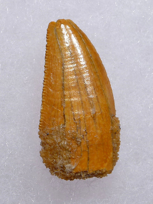 "UNUSUALLY LARGE FOSSIL DROMAEOSAUR "" RAPTOR "" DINOSAUR TOOTH WITH GOLDEN ENAMEL *DT6-307"