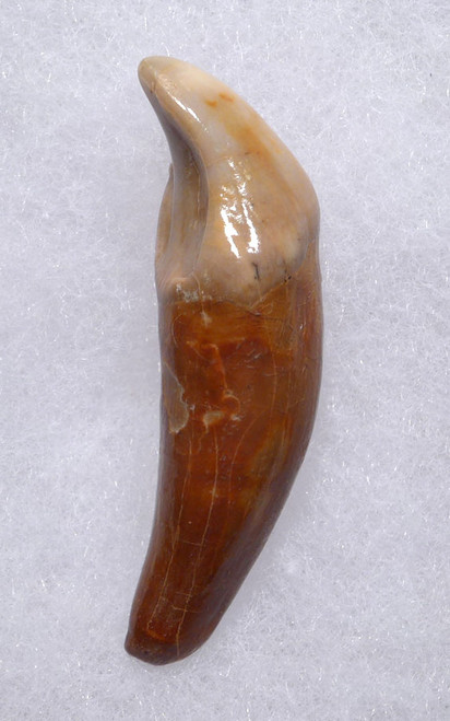 LARGEST PRIMARY CAVE BEAR INCISOR TOOTH FROM THE RARE DRACHENHOHLE DRAGONS CAVE IN AUSTRIA *LM40-169