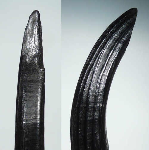FINEST INTACT GIANT BEAVER FOSSIL LOWER TUSK *LMX063