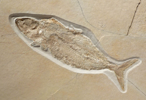 JURASSIC CATURUS FISH FOSSIL ON LARGE LIMESTONE PLATE FROM SOLNHOFEN *F094