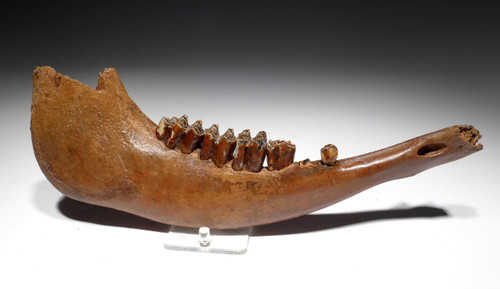 LARGE EUROPEAN ICE AGE FOSSIL AUROCHS JAW WITH ORIGINAL MOLARS *LMX197X