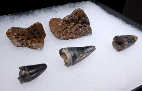 FOSSIL ALLIGATOR TEETH AND DERMAL ARMOR SCUTES FROM THE EARLY PLEISTOCENE OF FLORIDA  *CROC079