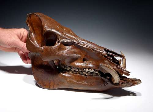 WILD BOAR FOSSIL SKULL FOR SALE