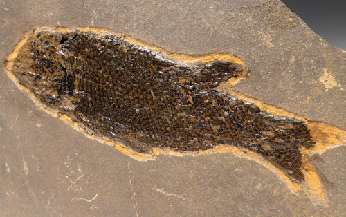 PERMIAN PARAMBLYPTERUS FISH FOSSIL FROM BEFORE THE DINOSAURS *F168