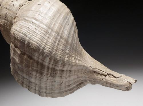 MEGALODON-ERA UNCOMMON FOSSIL TRIPLOFUSUS ACMAENSIS SEA SNAIL FOSSIL SHELL *GA057