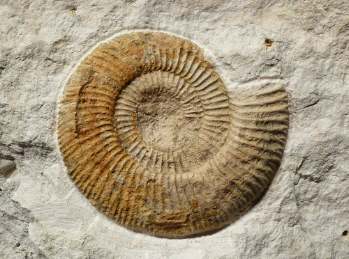 IMPRESSIVE INTERIOR DESIGN FOSSIL GOLDEN JURASSIC AMMONITE ON THICK WHITE LIMESTONE SLAB *AMX288