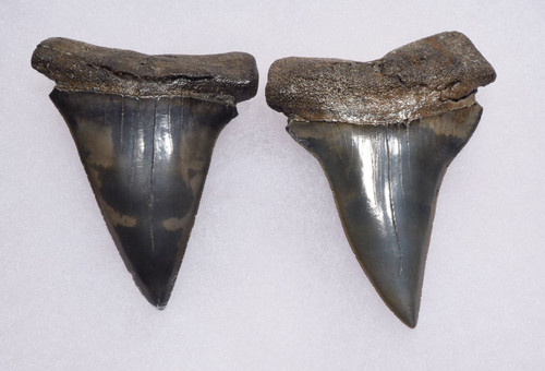 COLORFUL FOSSIL EXTINCT MAKO ISURUS SHARK TEETH FROM BELGIUM *SHX065