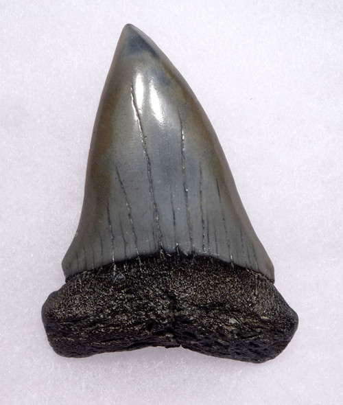 LARGE 2.6 INCH FOSSIL SHARK TOOTH FROM A PREHISTORIC MAKO ISURUS HASTALIS SHARK *SHX070