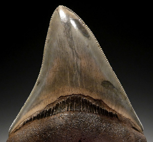 MEGALODON TOOTH FOR SALE