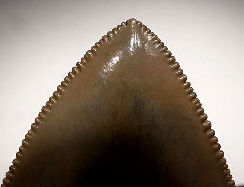 INVESTMENT GRADE 3.6 INCH GOLD MEGALODON SHARK TOOTH WITH INCREDIBLE COLORS *SH6-339