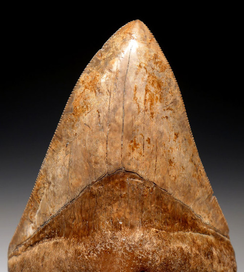 COLLECTOR GRADE ORANGE PEARL 4 INCH MEGALODON SHARK TOOTH WITH SHARP TIP AND SERRATIONS *SH6-302