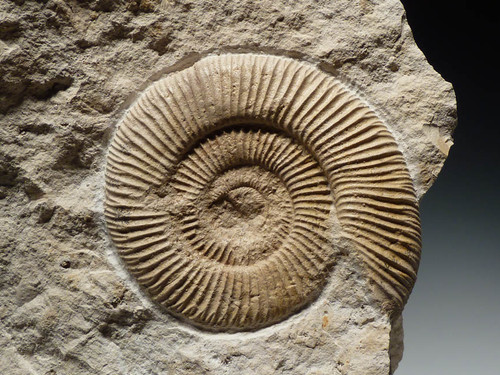 WHITE FOSSIL JURASSIC AMMONITE ON LARGE LIMESTONE BLOCK *AMX277