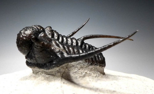 SPINY CYPHASPIS TRILOBITE PREPARED WITH FREE-STANDING SPINES *TRX262