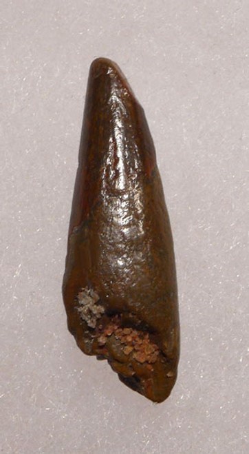 CRETACEOUS PTERODACTYL PTEROSAUR TOOTH WITH SHARP TIP *DT4-071