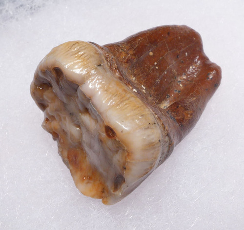 AUSTRIAN CAVE BEAR FOSSIL MOLAR TOOTH WITH FULL ROOT FROM THE FAMOUS DRACHENHOHLE DRAGONS CAVE *LM40-174