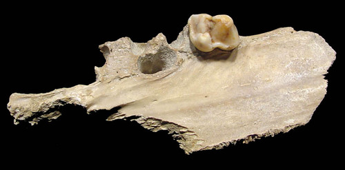 CAVE BEAR URSUS SPELAEUS PARTIAL PALATE AND MAXILLA WITH PREMOLAR FROM POLAND *LM40-027