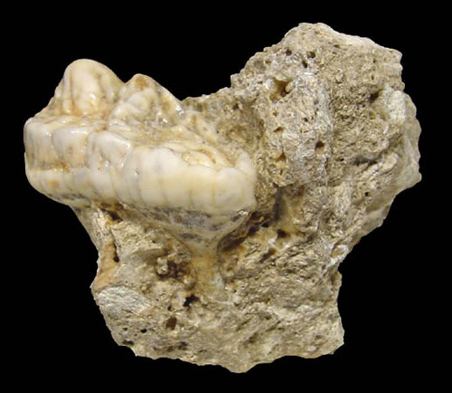 FOSSIL EUROPEAN CAVE BEAR URSUS SPELAEUS PRIMARY MOLAR WITH ROOT IN ORIGINAL CAVE FLOOR  MATRIX *LM40-104