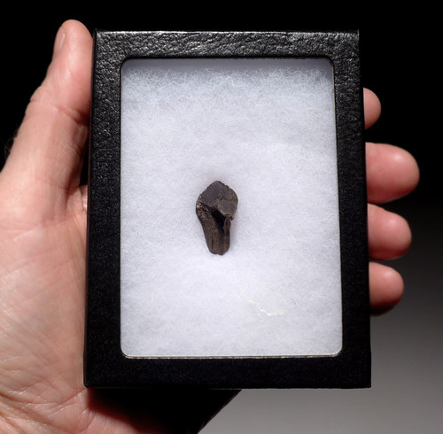 TRICERATOPS DINOSAUR TOOTH WITH PARTIAL ROOT AND INTACT CROWN *DT70-011
