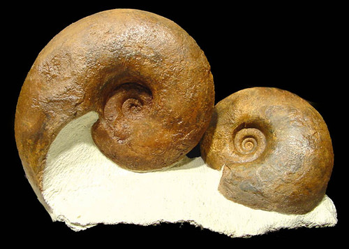 FINEST DECORATOR FOSSIL LARGE DOUBLE AMMONITE CLUSTER *AMX094