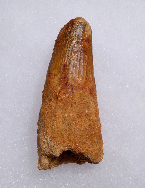 2.2 INCH UNBROKEN SPINOSAURUS DINOSAUR FOSSIL TOOTH WITH FEEDING WEAR *DT5-459