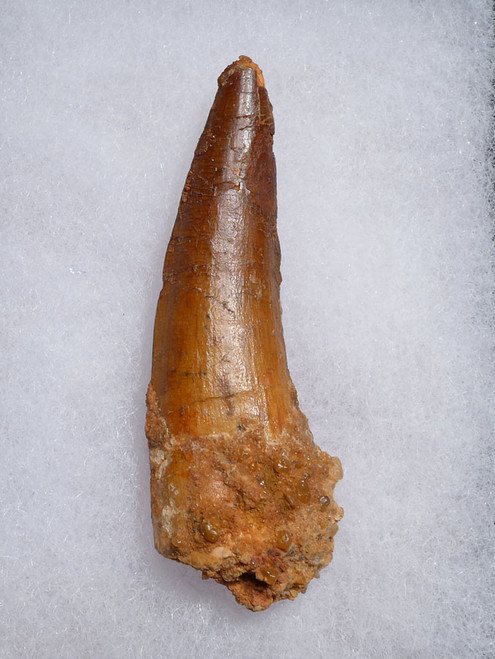SPINOSAURUS DINOSAUR TOOTH FOR SALE