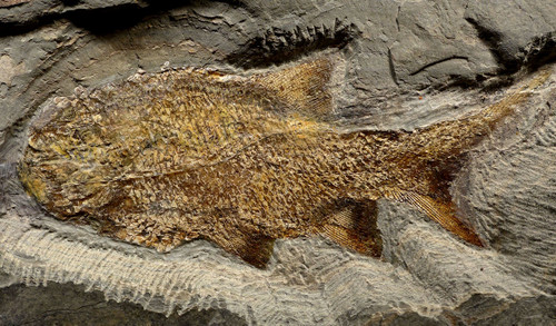 RARE WHITE PERMIAN FISH FOSSIL PARAMBLYPTERUS FROM GERMANY *F128
