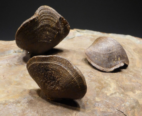 LARGE SCHIZOPHORIA DEVONIAN BRACHIOPOD COLONY FROM EUROPE *BR017