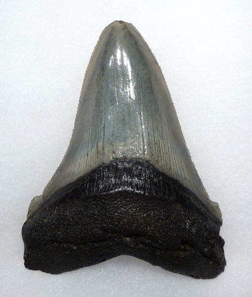 RARE SIZE LARGE 3.45 INCH FOSSIL ANGUSTIDENS SHARK TOOTH FROM THE USA *SHX018