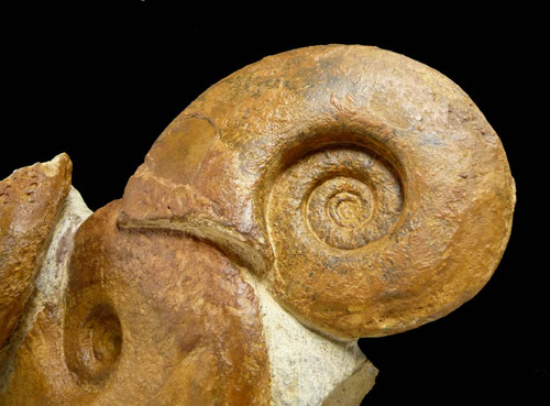 SUPERB TRIPLE JURASSIC AMMONITE GROUP FOSSIL  *AMX160