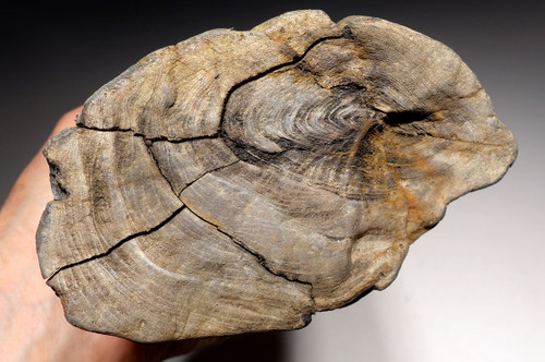 LARGE MIOCENE LOG FOSSIL FROM EUROPE WITH PETRIFIED WOOD NATURAL DETAIL *PL147