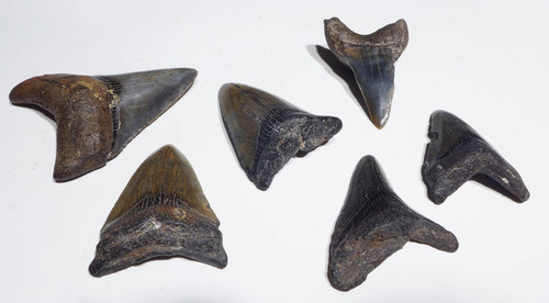 SIX FOSSIL SHARK TEETH FROM MEGALODON AND MAKO ISURUS SHARKS *SHKT01