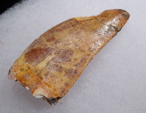 CARCHARODONTOSAURUS FOSSIL TOOTH WITH FEEDING WEAR FROM THE LARGEST MEAT-EATING DINOSAUR  *DT2-115