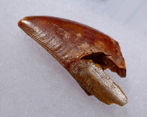 CARCHARODONTOSAURUS DINOSAUR TOOTH FOSSIL FROM BACK OF JAW   *DT2-105