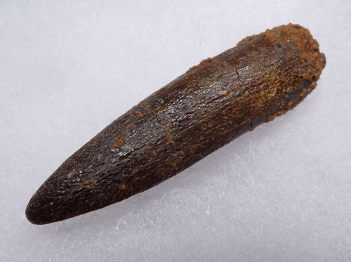 LARGE FOSSIL SAURPOD DINOSAUR TOOTH FROM AN UNCOMMON TITANOSAUR *DT9-039
