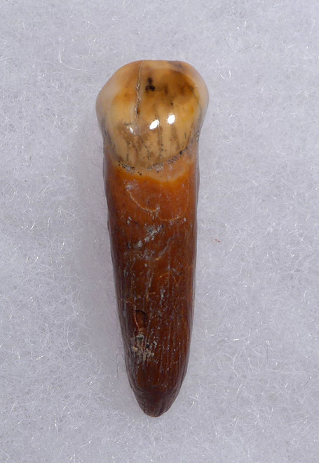 CAVE BEAR FOSSIL TOOTH WITH ROOT FROM THE FAMOUS DRACHENHOHLE DRAGONS CAVE IN AUSTRIA *LM40-180