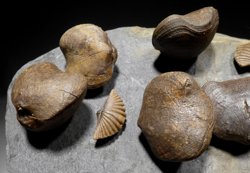KOWALA FORMATION MUCROSPIRIFER AND SCHIZOPHORIA DEVONIAN BRACHIOPOD FOSSILS  FROM POLAND  *BR020