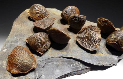 DEVONIAN ATRYPA BRACHIOPOD COLONY FROM SITE OF OLDEST TETRAPOD FOSSILS  *BR024