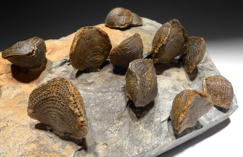 DEVONIAN ATRYPA BRACHIOPOD FOSSILS FROM SITE OF OLDEST TETRAPOD FOOTPRINTS  *BR033