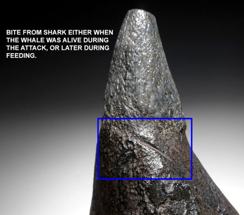 EXCEPTIONAL LARGE COMPLETE FOSSIL SPERM WHALE TOOTH WITH SHARK BITE  *WH056