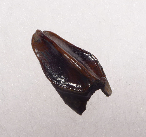 UNERUPTED BABY FOSSIL HADROSAUR DINOSAUR TOOTH  *DT7-025