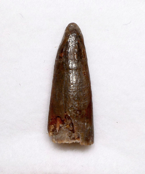 FOSSIL PTEROSAUR TOOTH FROM A FLYING PREHISTORIC REPTILE FROM THE SIDE OF THE JAW  *DT4-116