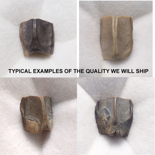 HADROSAUR DINOSAUR TEETH