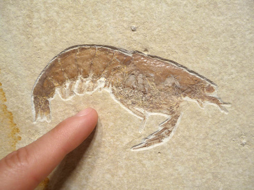 SUPERB GIANT FOSSIL SHRIMP ACANTHOCHIRANA FROM SOLNHOFEN  *CRUS-009