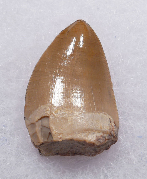 VERY LARGE RUTIODON PHYTOSAUR TOOTH FROM TRIASSIC PETRIFIED FOREST FORMATION  *DT12-223