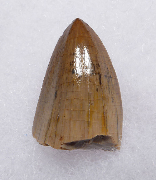 LARGE FINEST GRADE RUTIODON PHYTOSAUR FOSSIL TOOTH FROM THE TRIASSIC  *DT12-221