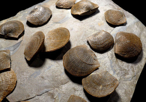 LARGE DEVONIAN BRACHIOPOD SCHELLWIENELLA FOSSIL COLONY FROM FAMOUS SITE  *BR037