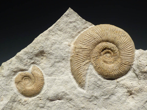 WHITE FOSSIL JURASSIC AMMONITE ON LARGE LIMESTONE BLOCK *AMX289