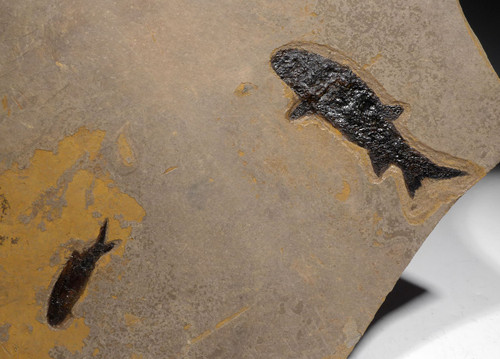 RARE LARGE UNBROKEN NATURAL DOUBLE PARAMBLYPTERUS PERMIAN PRIMITIVE EARLY FISH FOSSIL FROM BEFORE THE DINOSAURS  *F147
