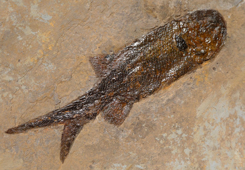 SPECTACULAR LARGE PERMIAN FISH FOSSIL PARAMBLYPTERUS FROM BEFORE THE DINOSAURS *F144