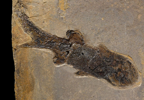 EARLIEST BONY FISH FOSSIL PERMIAN PARAMBLYPTERUS ON LARGE PLATE  *F671